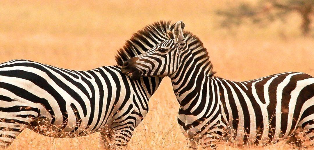 Micato's Zebra Fact File