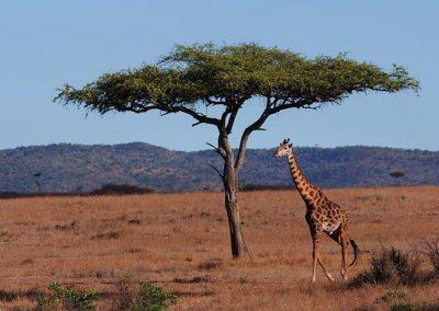 Giraffes Roaming in the Maasai Mara