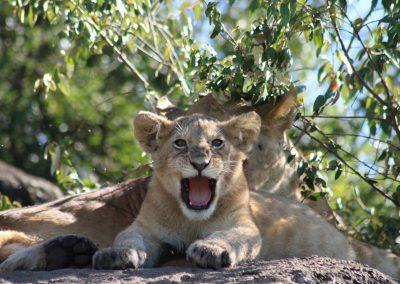 Lion Cubs in the Maasai Mara